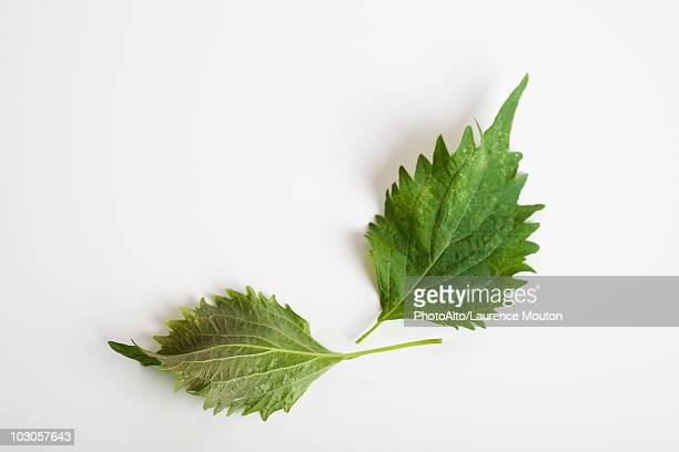 shiso (also known as perilla) - shiso stock pictures, royalty-free photos & images