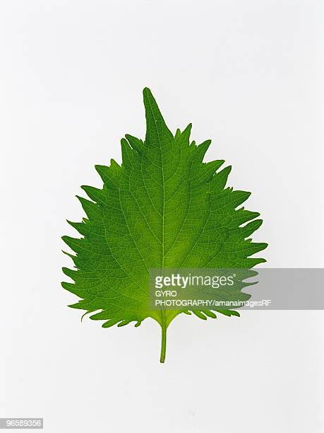 shiso - shiso stock pictures, royalty-free photos & images