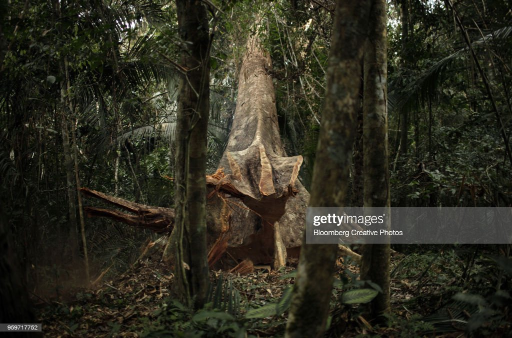 A Shiwawaco tree falls after being cut during a forest management project : Stock-Foto