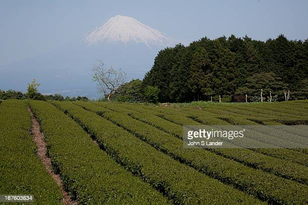 Shizuoka Green Tea Fields Shizuoka accounts for 45% of Japan's overall green tea production and the prefecture is at the leadingedge of research with...
