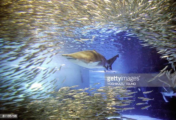 A shoal of 15000 sardines makes various shapes as a sand tiger shark swims in a large tank at the Hakkeijima Sea Paradise Aquarium in Yokohama in...