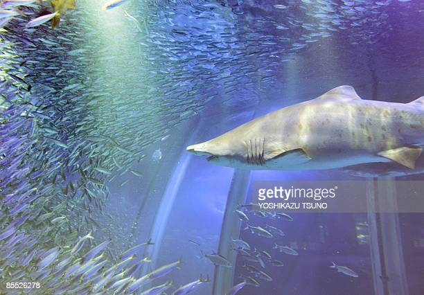 A shoal of 50000 sardines swim around a sand tiger shark swims in a large fish tank during a press preview at the Hakkeijima Sea Paradise Aquarium in...