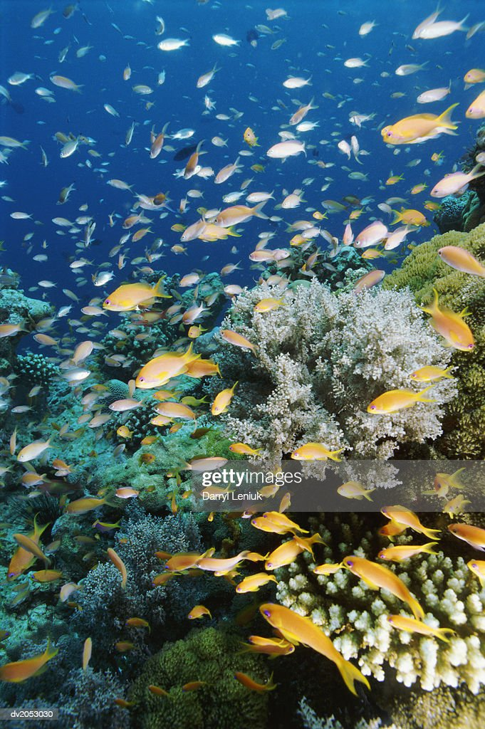 Shoal of Anthia Fish : Stock Photo