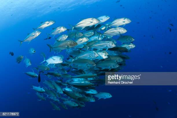 shoal of bigeye trevally, solomon islands - jack fish stock pictures, royalty-free photos & images