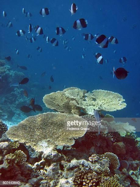 Shoal of Black Pyramid Butterflyfish on Maldivian Atoll Coral Reef