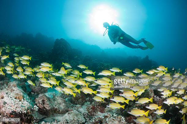Shoal of Bluestripe Snapper and Diver Lutjanus kasmira Medhu Faru Reef South Male Atoll Maldives