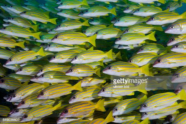 Shoal of Bluestripe Snapper Lutjanus kasmira Ellaidhoo House Reef North Ari Atoll Maldives