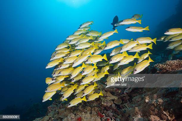 Shoal of Bluestripe Snapper Lutjanus kasmira North Male Atoll Maldives