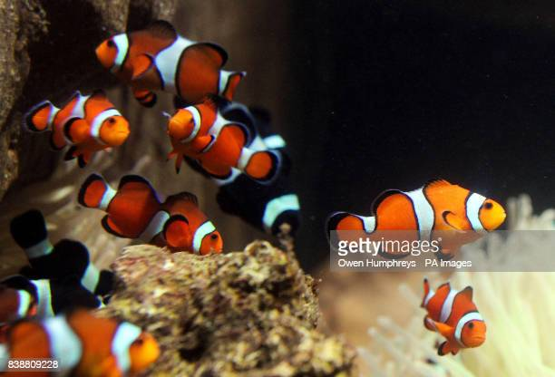 A shoal of clown fish in their new home at the Blue Reef Aquarium in Tynemouth which took delivery of over 60 of the fish today