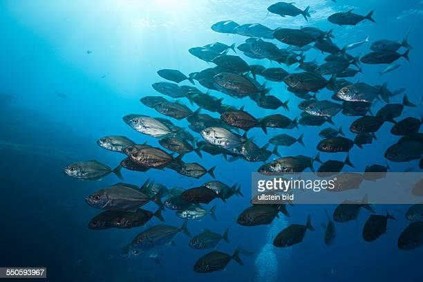 Shoal of Cottonmouth Jack Uraspis secunda Roca Partida Revillagigedo Islands Mexico