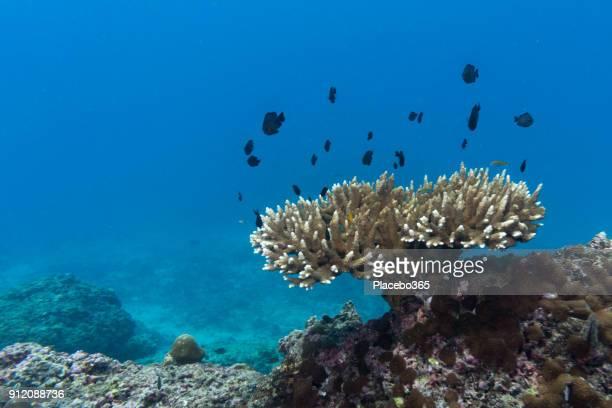 Shoal of Damselfish (Dascyllus trimaculatus) on Fragile Staghorn Coral (Acropora), Phi Phi Islands, Krabi, Andaman Sea, Thailand