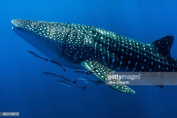 A shoal of Live Sharksuckers and Remora swim alongside a Whale Shark.