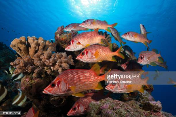 shoal of longjawed squirrelfish, ahe atoll, tuamotu archipel, french polynesia - squirrel fish stock pictures, royalty-free photos & images