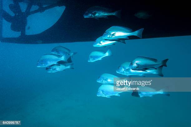A shoal of Painted Sweetlips schooling beneath the hull of a boat.