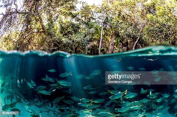 shoal of piraputanga in sucuri river - río amazonas fotografías e imágenes de stock