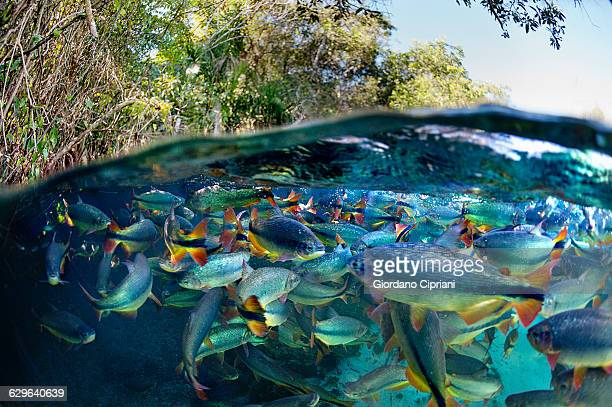 shoal of piraputanga - mato grosso do sul state stock pictures, royalty-free photos & images