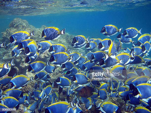 Shoal of Powderblue Surgeonfish (Acanthurus leucosternon) on the Coral Reef at Velidhu Island, Maldives