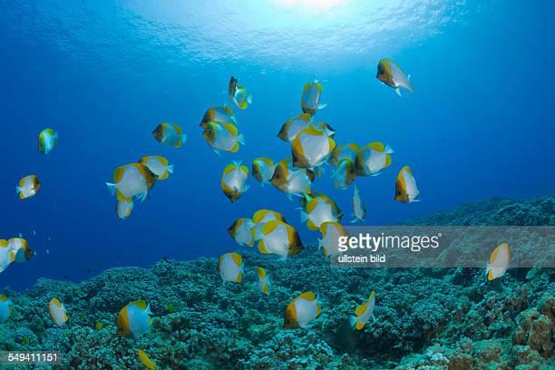 Shoal of Pyramid Butterflyfishes Hemitaurichthys polyepis Molokini Crater Maui Hawaii USA