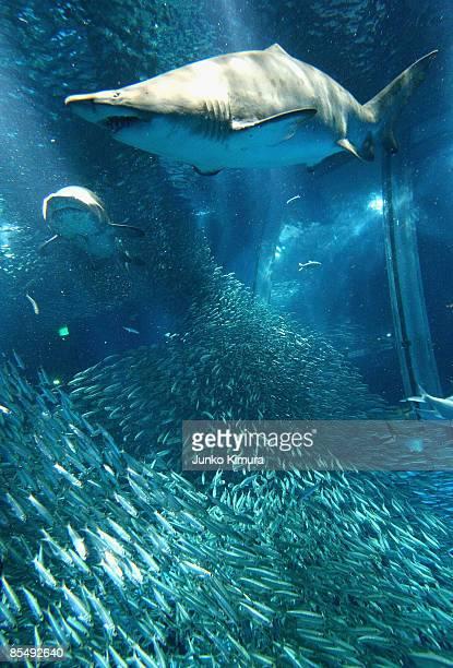 Shoal of sardines and sharks swim in a new tank at Yokohama Hakkeijima Sea Paradise on March 19 2009 in Yokohama Japan The display starts as a part...