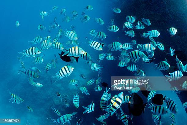 shoal of sergeant major fish or pãntano (abudefduf saxatilis), marsa alam, red sea, egypt, africa - major military rank stock pictures, royalty-free photos & images