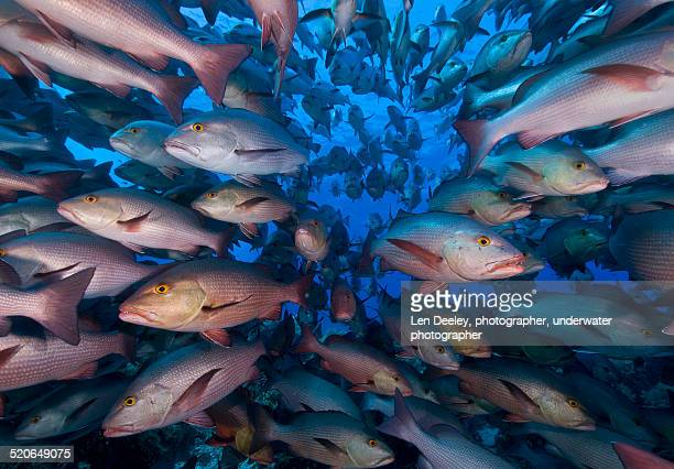 A Shoal of Snappers, Ras Mohammed