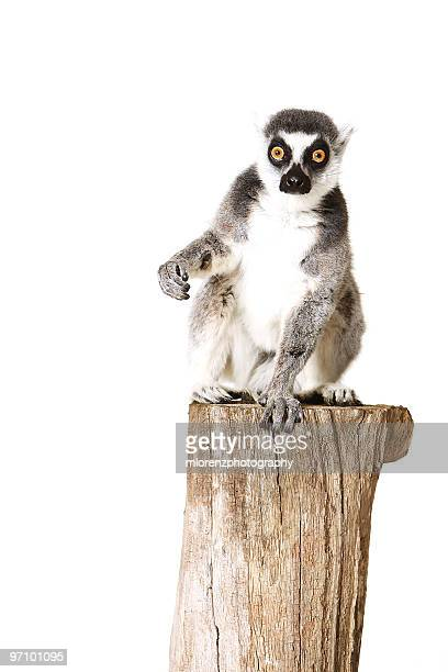 shocked lemur - lemur stock pictures, royalty-free photos & images