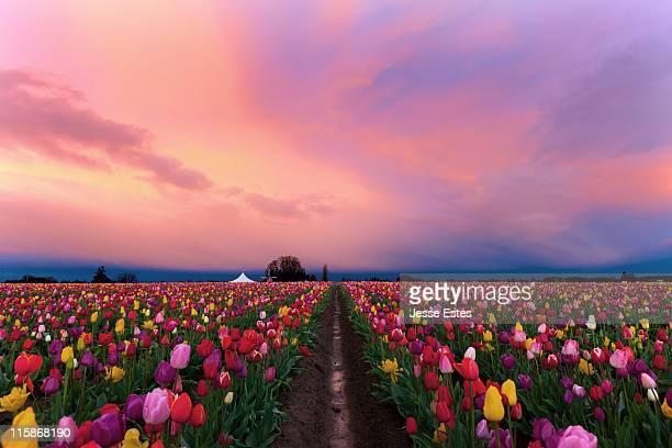 Shoe Tulip farm