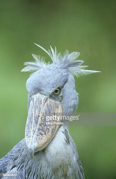 shoebill, balaniceps rex, head shot, uganda - ugly bird stock pictures, royalty-free photos & images