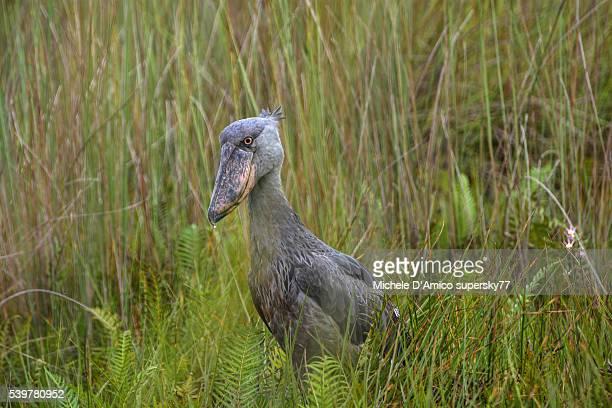 Shoebill in the swamp
