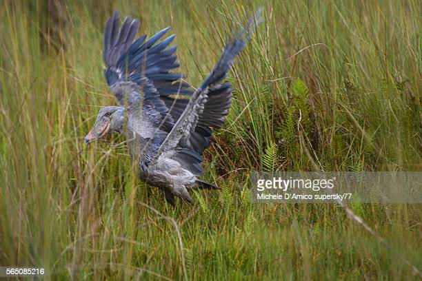 Shoebill in the swamp.