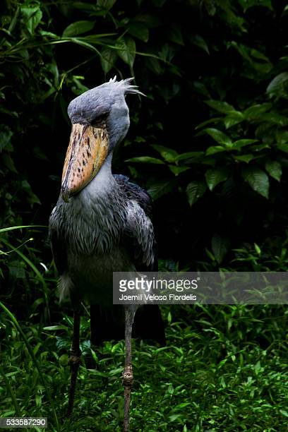 shoebill or whalehead or shoe-billed stork - joemill flordelis stock pictures, royalty-free photos & images