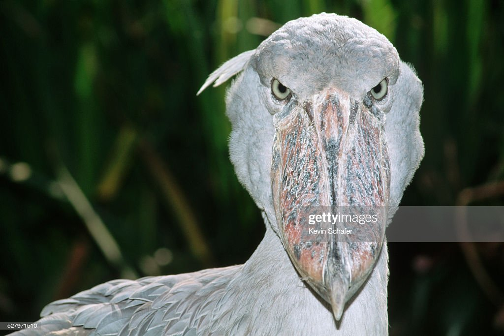 Shoebill Stork : ストックフォト