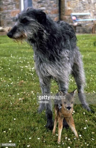 Shona the deerhound with Roro the Roe Deer July 1989