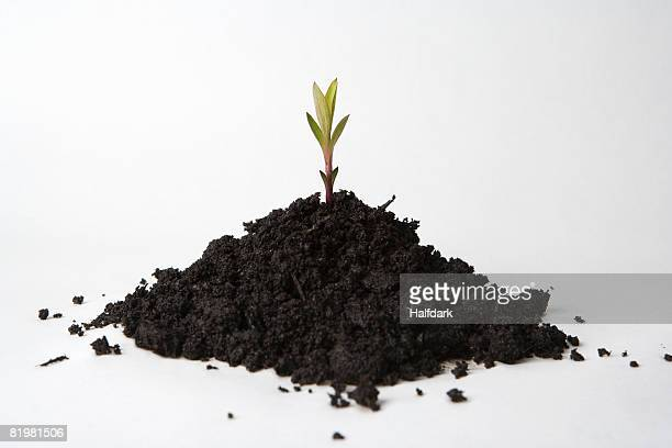 A shoot growing from a heap of soil