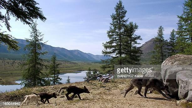 Shooting Of The Film 'Loup' By Nicolas Vanier Tournage du film de Nicolas Vanier 'LOUP' en Sibérie dans les monts de Verkhoïansk Une famille de loups...