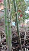 shoots asparagus garden