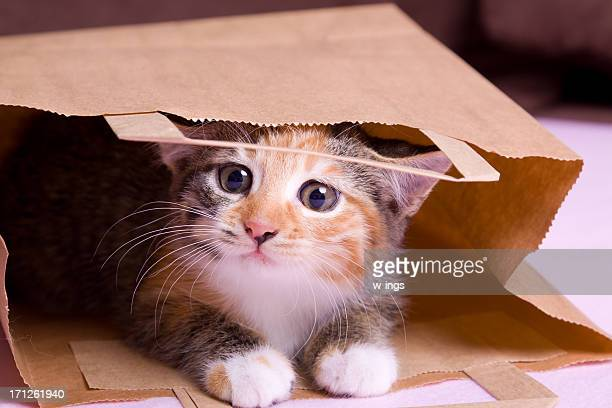 shopping kitten