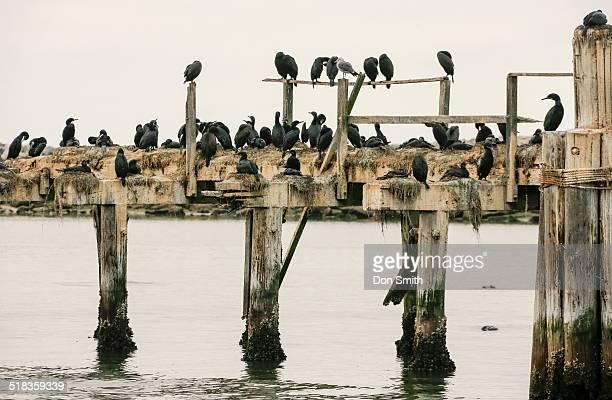 shore birds on pier - don smith imagens e fotografias de stock