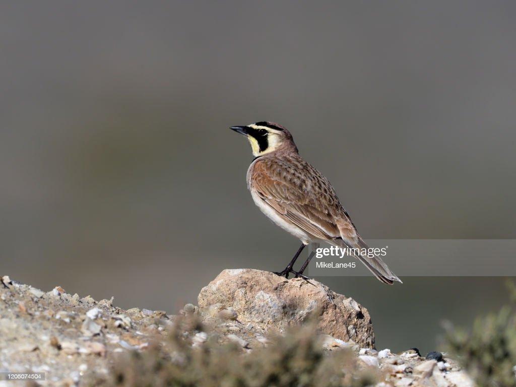 Shore lark or Horned lark,  Eremophila alpestris : Stock Photo