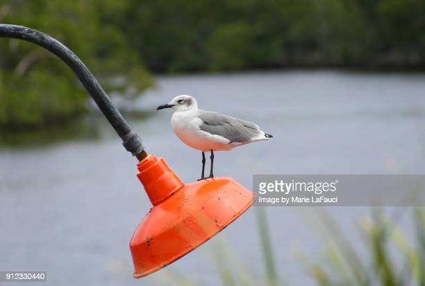 shorebird perched on a retro-style light fixture outside - marie lafauci stock pictures, royalty-free photos & images