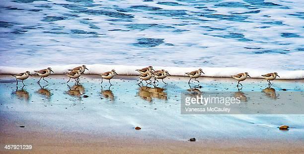 shorebirds - wader bird stock photos and pictures