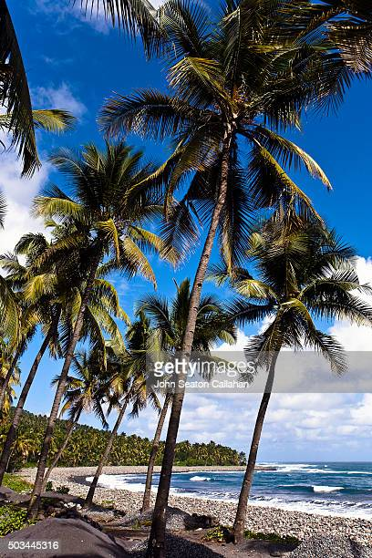 Shoreline and Coconut Palms