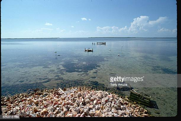 shoreline with conch shells - bimini stock photos and pictures