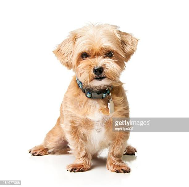 shorkie - collar stock pictures, royalty-free photos & images
