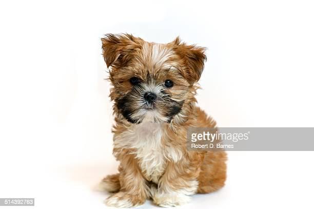 Shorkie Puppy Posing