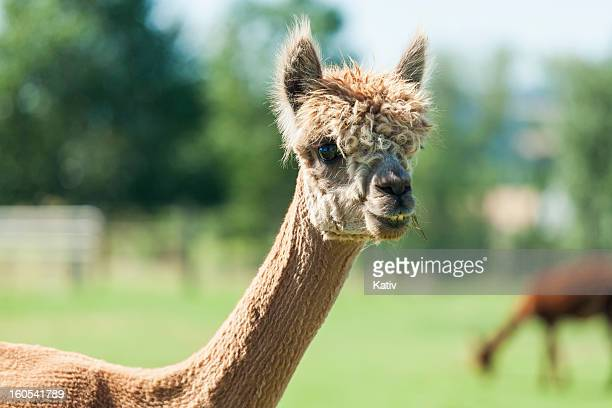 shorn alpaca smiling - pruning shears stock photos and pictures