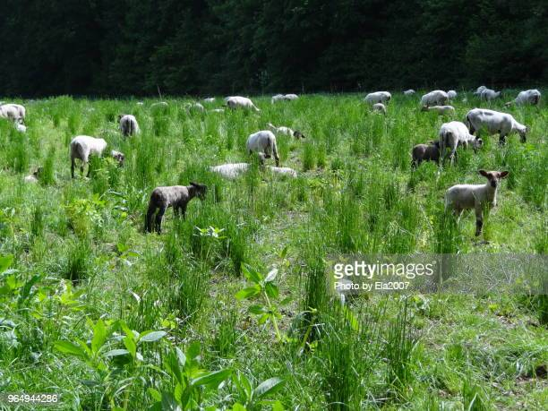 Shorn sheep on a sunny forest glade