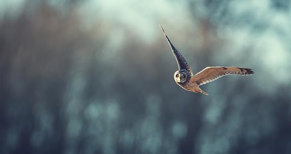 short eared owl flying 480757592