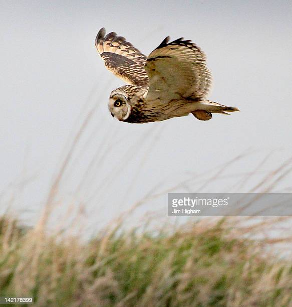 short eared owl - nature reserve stock pictures, royalty-free photos & images
