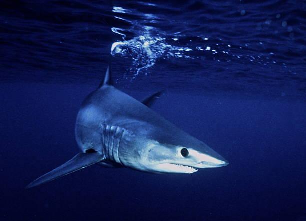 Short Fin Mako Shark - Bonita Shark - Cousin to The Great White Shark